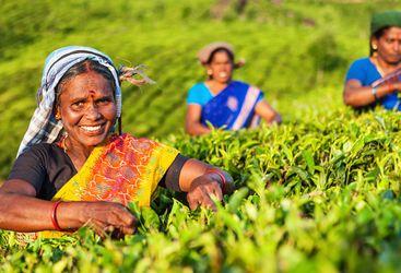 Tamil Tea Pickers