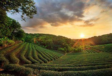 Sunsetting over tea plantations