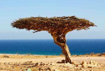 A Gnarled Tree in Musandam