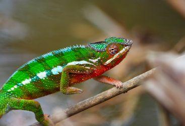 Colourful lizard in Madagascar