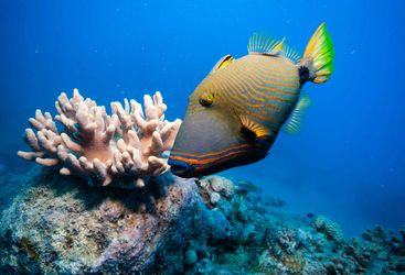 Orange lined triggerfish