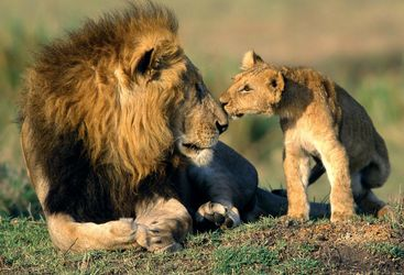 Lion with cub