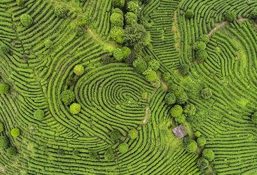 Aerial shot of Indian Darjeeling tea