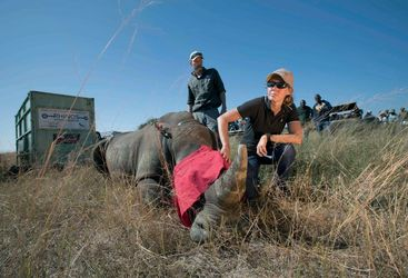 A vet with a rhino