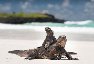 Iguanas in the Galapagos