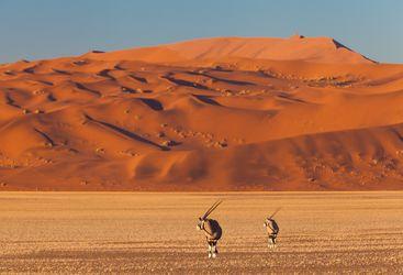 gemsbok in the desert