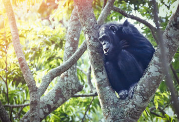 Chimpanzee in Nyungwe Forest National Park