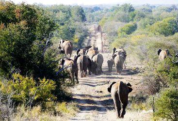 Elephants in Madikwe