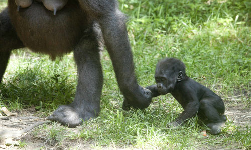 Baby Gorilla and Mother in Rwanda