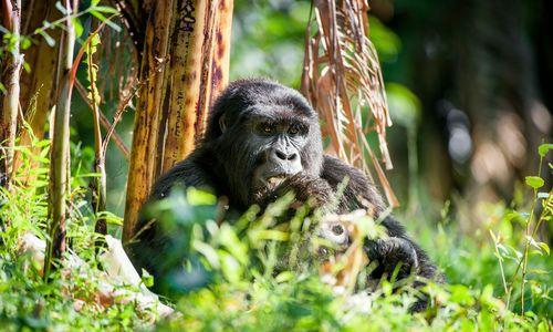 Gorilla portrait in Uganda
