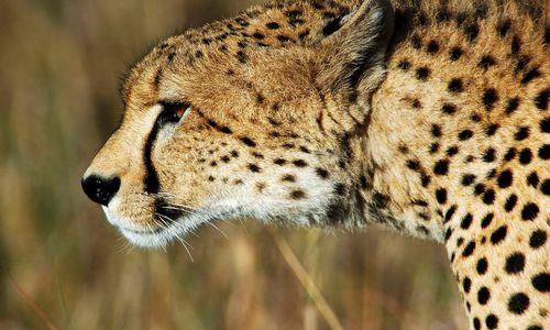 Cheetah in Africa close up