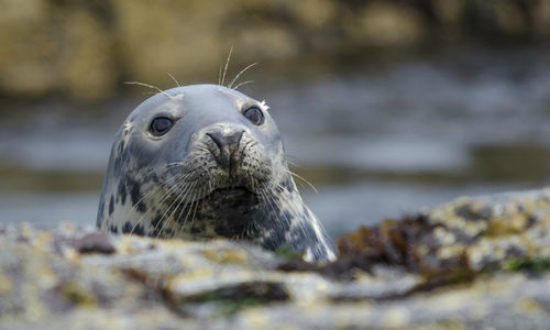 A picture of an adorable grey seal
