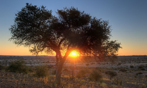 sunset behind an african tree