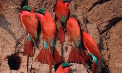 Red birds clinging to branch