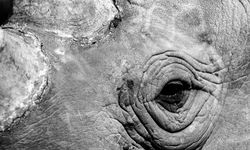 Close up of a rhino in Kenya
