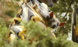 Fruit Bats in Rwanda