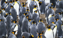 Colony of King Penguins in Anctarctica