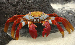 Lightfoot Crab, Ecuador