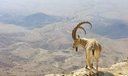 Mountain Goat, Israel
