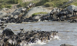 Tanzania Wildebeest Crossing