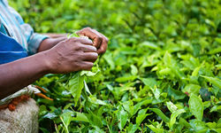 Tea picking in India
