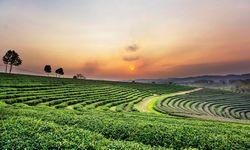 Chiang Mai Tea Plantations