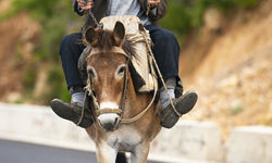Donkey, Albania