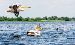 Danube Delta, Pelicans
