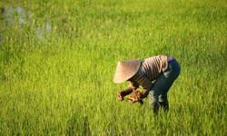 Worker in the Paddy Fields