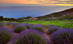 Lavender fields in Croatia