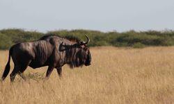 Wildebeest in Kalahari
