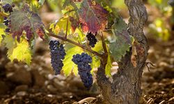 Grapes on Rioja Vines