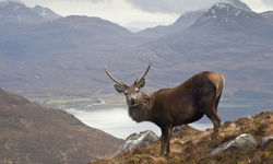 A close up of a Scottish wild stag