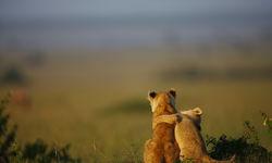 Lion cub friends in Kenya