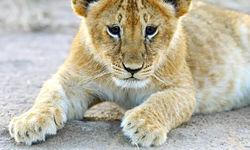 Lion cub Masai Mara
