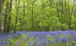 A woodland floor in Suffolk covered in bluebells