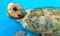 Green Sea Turtle in Costa Rica