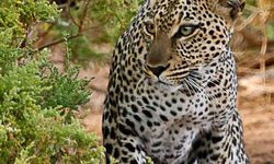 Leopard in Samburu