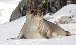 A seal in Antarctica