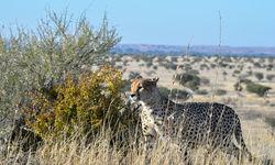 cheetah in mashatu game reserve