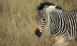 running zebra puppy