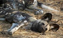 wild dog lying down