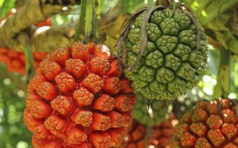 Palm Fruit On The Island
