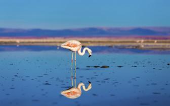 A Flamingo in the Atacama