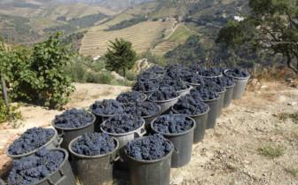 Grapes of Douro