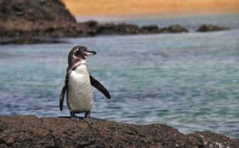 A Penguin Waddling