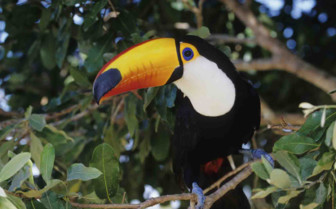 Inquisitive Toucan