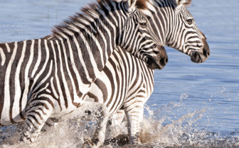 Zebras in Water