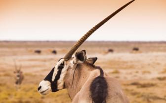 Close up of an African antelope