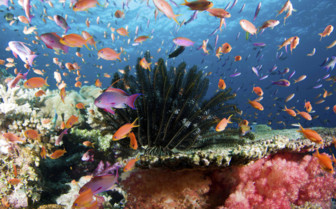 Anthias Aquarium in Fiji